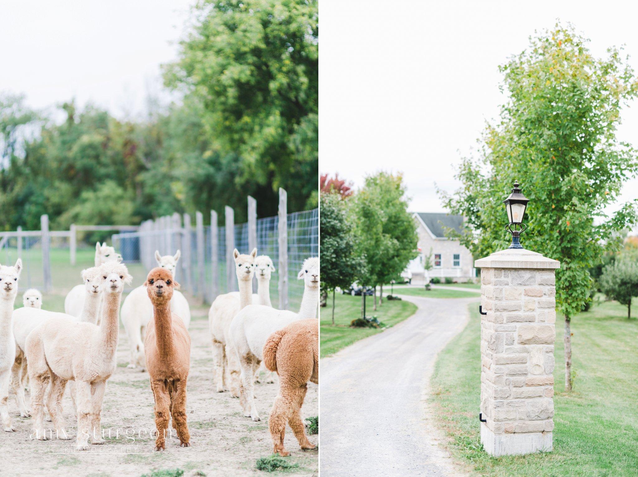 cute brown and white alpacas at the alpaca farm wedding in ottawa
