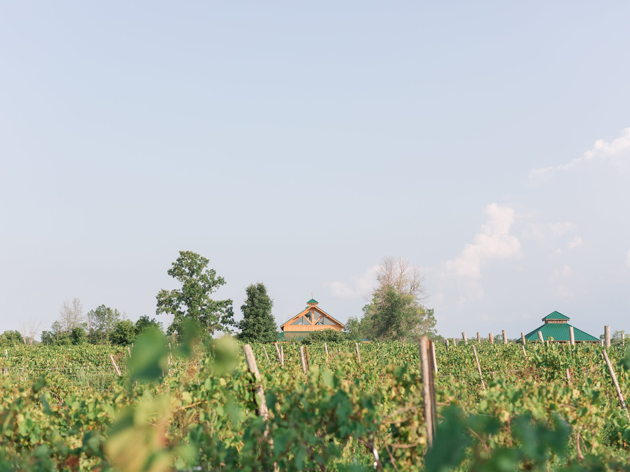 Field of grapes Vineyard wedding at Jabulani Amy Pinder Photography