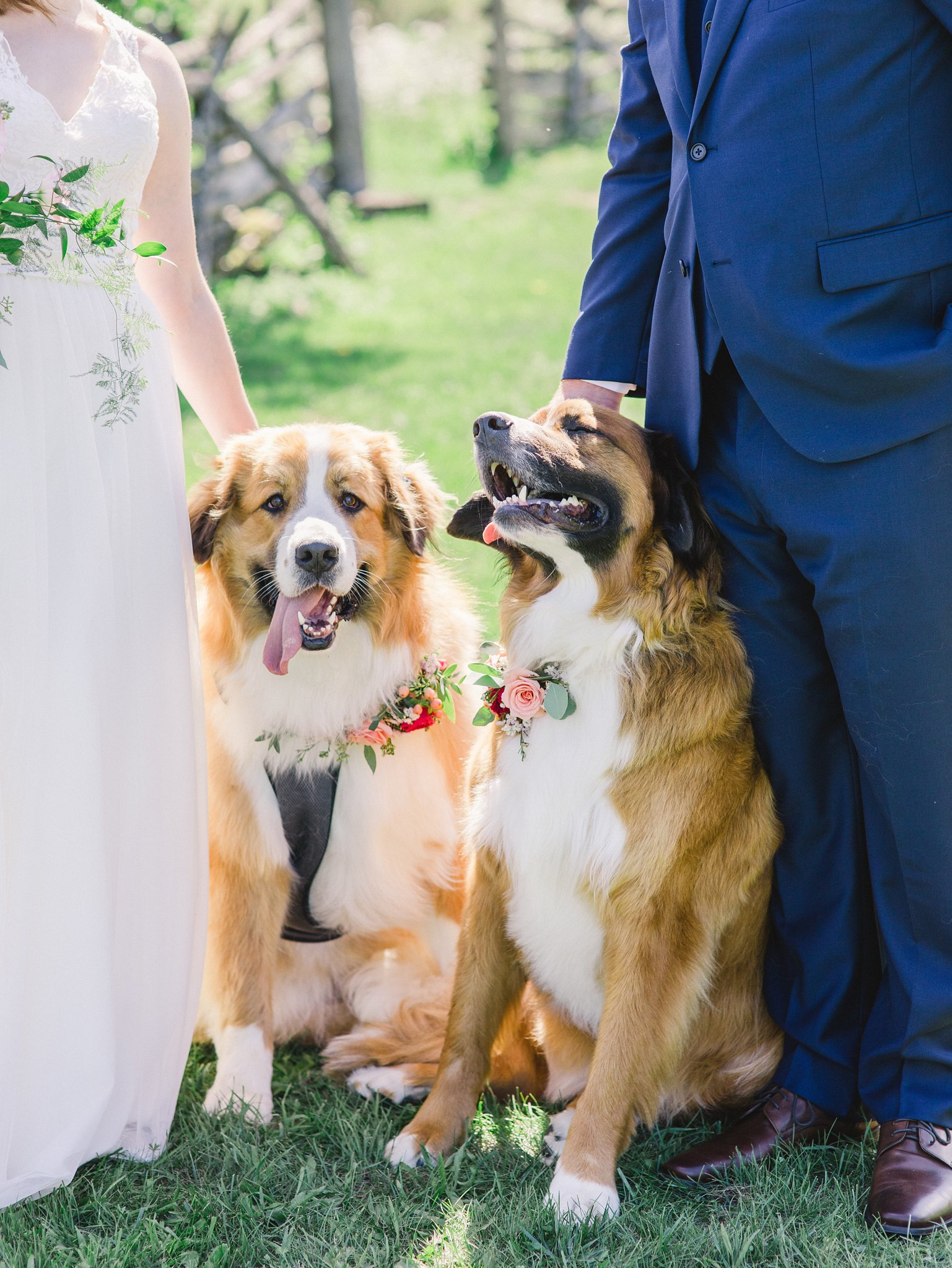 Bernese Mountain Dog-friendly wedding venue Ottawa Stonefields Amy Pinder Photography